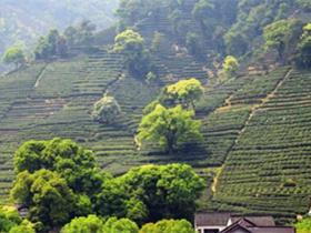 现代茶诗《安吉白茶赞》赏析_描写安吉白茶的古诗词_关于茶的诗句鉴赏