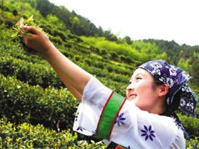 碧螺春的现代茶诗《七绝·采茶》两首注释赏析_关于采摘新茶的诗句古诗