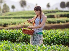 精美茶叶对联《单枞凤凰》注释赏析_关于广东乌龙茶凤凰单丛的茶诗茶联