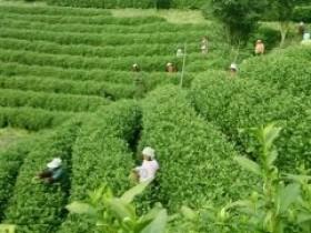 安吉采茶歌《三季采茶歌》赏析_描写浙江民间采茶的歌曲_关于茶的诗歌
