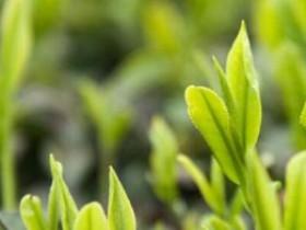 现代茶歌《白茶之歌》赏析_描写安吉白茶的茶歌歌词_关于茶的诗句鉴赏