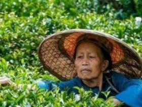 清代闵钧茶诗《种茶》注释赏析_描写种茶的古诗_关于茶园的诗句