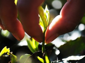 关于春天采茶的唯美茶诗《采茶忙》赏析_描写采茶姑娘的诗句