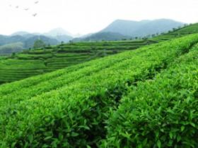 现代诗人刘杰的精美茶诗妙句《咏普洱茶》其一赏析_关于茶园的诗句