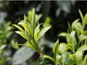 描写云南茶园的唯美现代茶诗《普洱茶山春曲》赏析_关于春天的茶诗大全