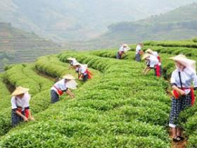 赞美秋天茶园的景象茶诗《安溪的秋》赏析_关于铁观音秋茶的诗句