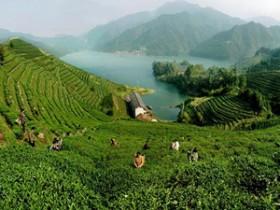 赞美铁观音茶乡生态环境的茶诗妙句《铁观音故乡游纪·茶园》赏析