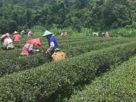 台湾高山茶正式上市语句_台湾乌龙茶/台湾春茶/台湾冬茶正式上市的朋友圈素材