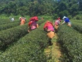 台湾高山茶预售简短语句_台湾乌龙茶正式预售朋友圈素材