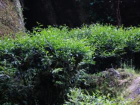"""东方六禾武夷岩茶山场说:独占鳌头牛栏坑的""""不可思议"""""""