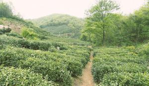 毛尖是绿茶还是红茶图片